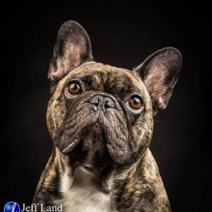 French Bulldog, Pet Portrait Photographer, Stratford upon Avon, Warwickshire, Cotswolds