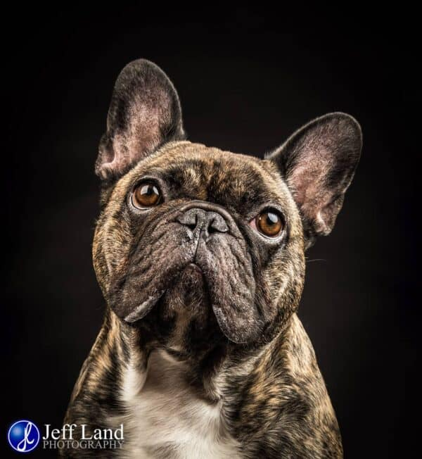 French Bulldog, Pet Portrait Photographer, Stratford upon Avon, Warwickshire, Cotswolds
