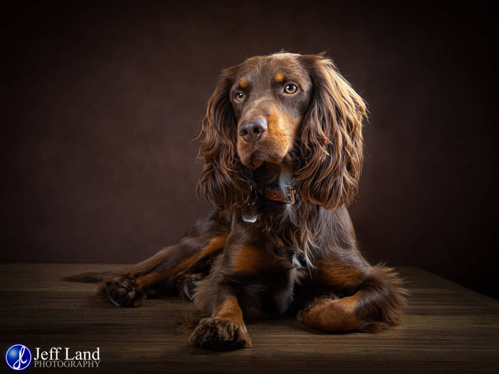 Chocolate Springer, Pet Portrait Photographer, Stratford upon Avon, Warwickshire, Cotswolds
