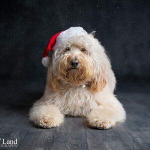 Christmas Cockapoo, Pet Portrait Photographer, Stratford upon Avon, Warwickshire, Cotswolds