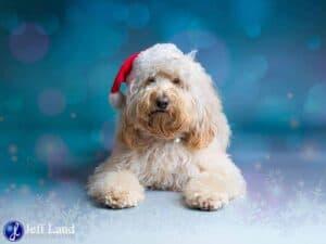 Cockapoo, Christmas, Pet Portrait Photographer, Stratford upon Avon, Warwickshire, Cotswolds