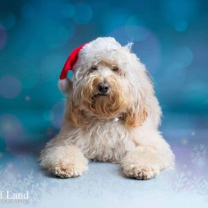 Cockapoo, Christmas, Pet Portrait Photographer, Stratford upon Avon, Warwickshire, Cotswolds