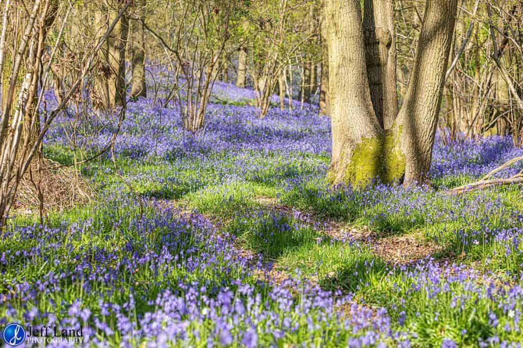Bluebell Wood, Landscape, Photographer, Stratford upon Avon, Warwickshire, Cotswolds