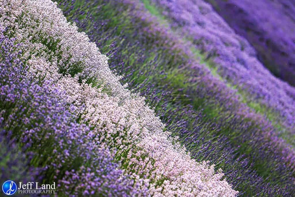 Lavendar Field, Landscape, Photographer, Stratford upon Avon, Warwickshire, Cotswolds