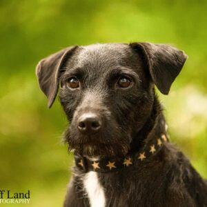 Black Terrier, Pet Portrait Photographer, Stratford upon Avon, Warwickshire, Cotswolds