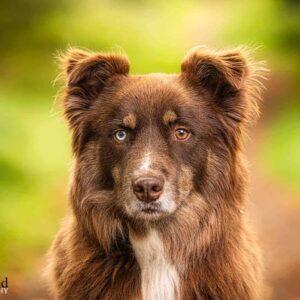 Husky Collie Cross, Pet Portrait Photographer, Stratford upon Avon, Warwickshire, Cotswolds
