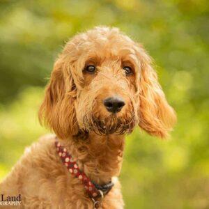 Cross Breed, Pet Portrait Photographer, Stratford upon Avon, Warwickshire, Cotswolds