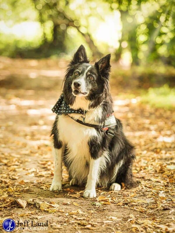 Boarder Collie, Pet Portrait Photographer, Stratford upon Avon, Warwickshire, Cotswolds