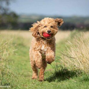 Goldendoodle, Pet Portrait Photographer, Stratford upon Avon, Warwickshire, Cotswolds