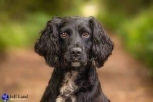 Black Springer, Pet Portrait Photographer, Stratford upon Avon, Warwickshire, Cotswolds