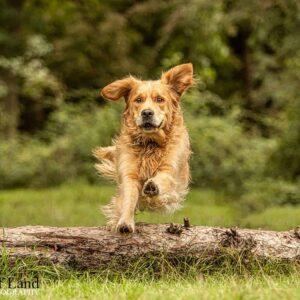 Golden Retriever, Jump, Pet Portrait Photographer, Stratford upon Avon, Warwickshire, Cotswolds