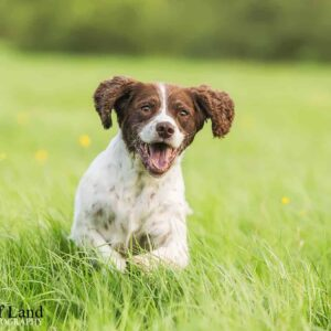 Springer, Pet Portrait Photographer, Stratford upon Avon, Warwickshire, Cotswolds