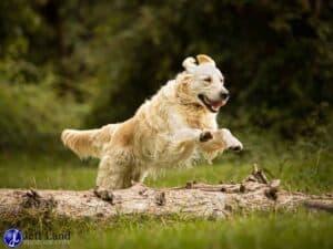 Retriever, Jump, Pet Portrait Photographer, Stratford upon Avon, Warwickshire, Cotswolds