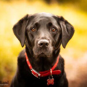 Black Labrador, Pet Portrait Photographer, Stratford upon Avon, Warwickshire, Cotswolds