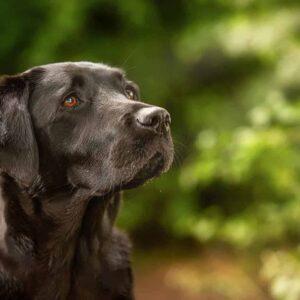 Black Labrador, Jump, Pet Portrait Photographer, Stratford upon Avon, Warwickshire, Cotswolds