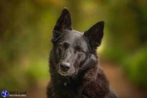 Black Dog, Pet Portrait Photographer, Stratford upon Avon, Warwickshire, Cotswolds